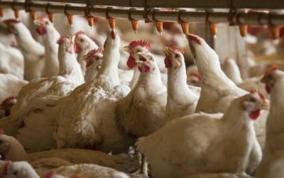 Redução de ICMS sobre energia diminui em 5% custos do setor de aves em MS